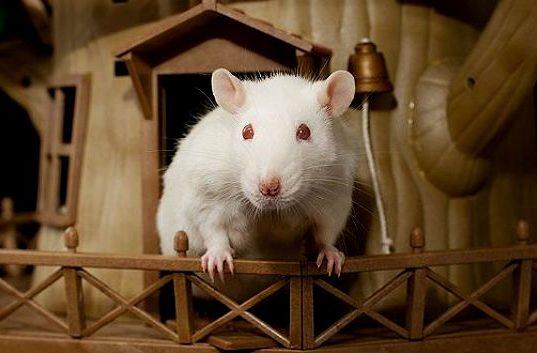 Уход за беременной крысой