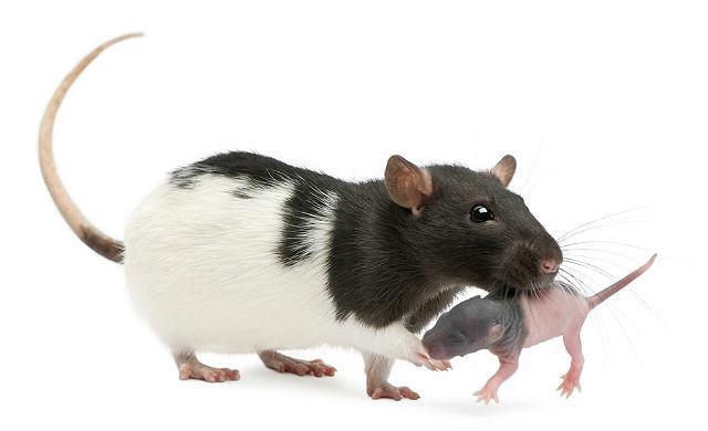 Крыса с крысенком