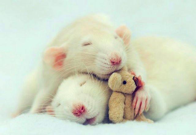 Спаривание крыс
