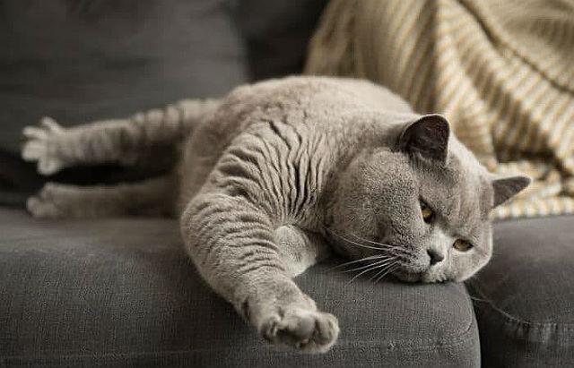 Беременность у британской кошки - главное фото