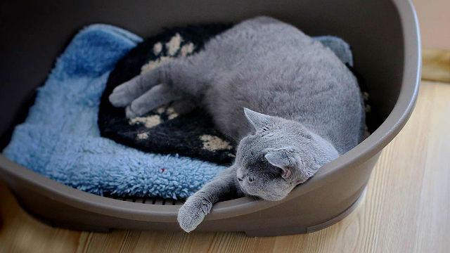 Беременность у британской кошки