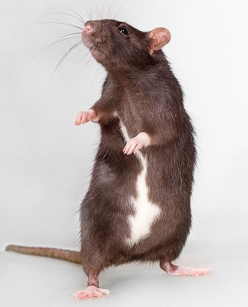 Большая коричневая крыса
