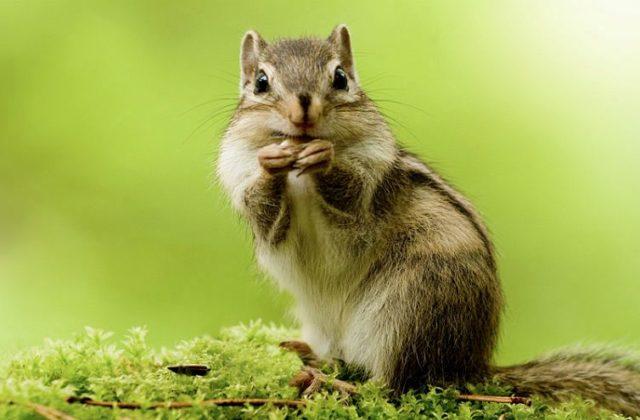 Чем кормить бурундука - главное фото