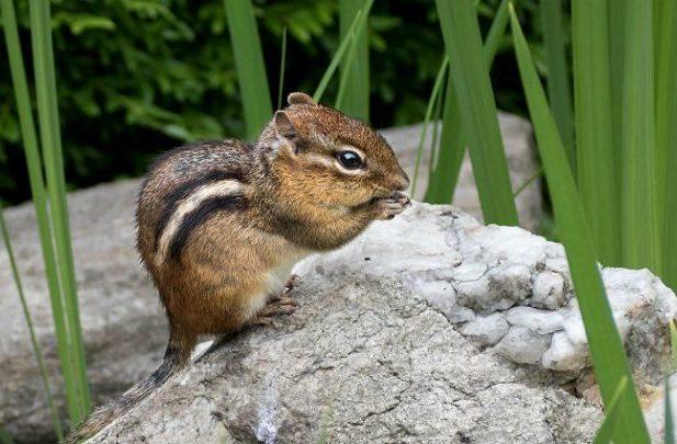 Питание бурундука в природе