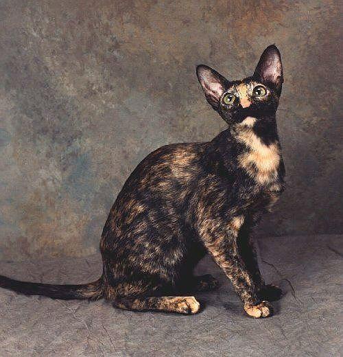 Черепаховые кошки - ориентальная