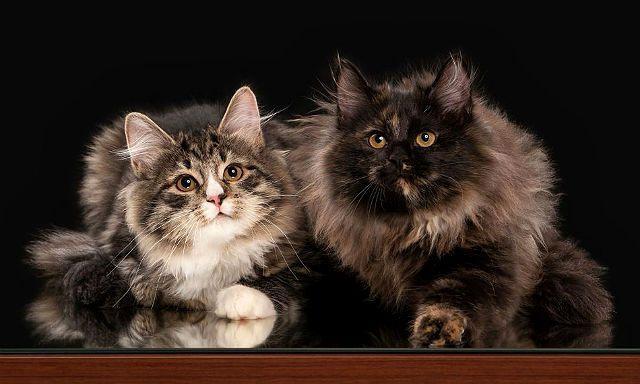 Черепаховые кошки - сибирская