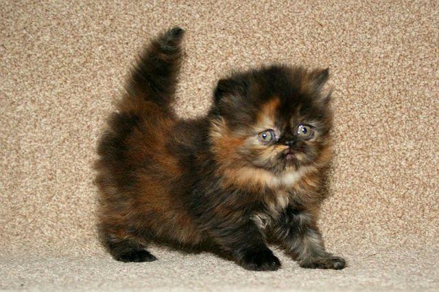 Черепаховые кошки - персидская