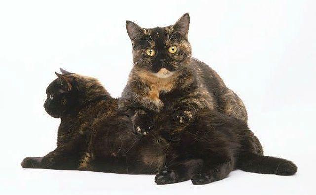 Черепаховые кошки - британская