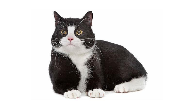 Что за порода черно белых кошек thumbnail