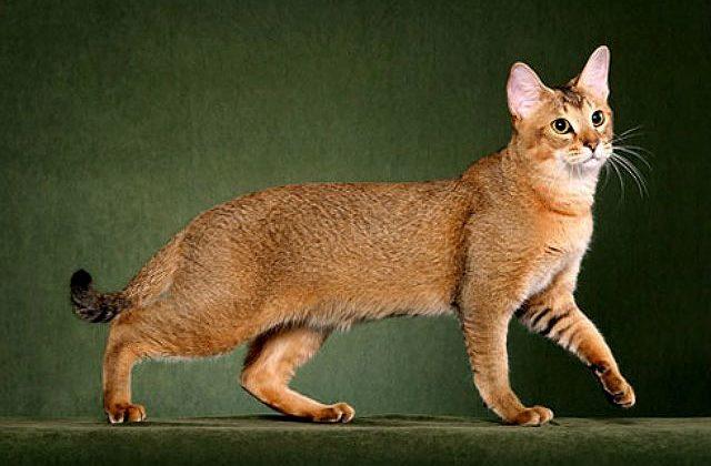 Кошка чаузи на зеленом фоне