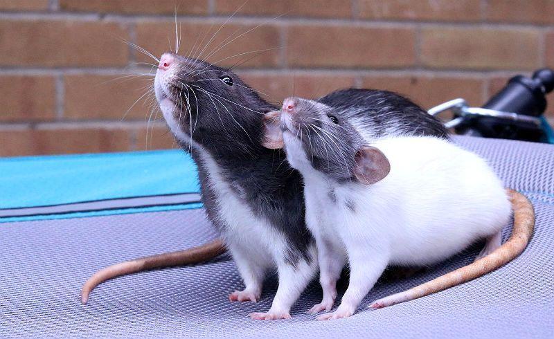 Декоративные крысы дамбо - главное фото
