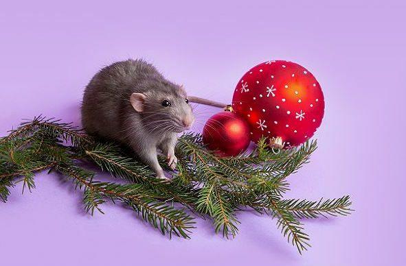 Серая крыса дамбо