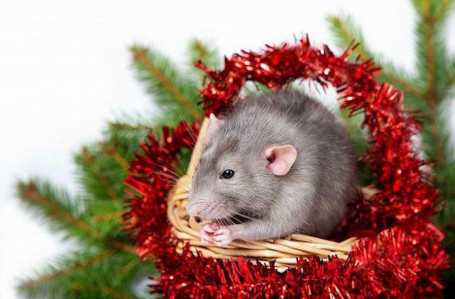Грызун - крыса дамбо