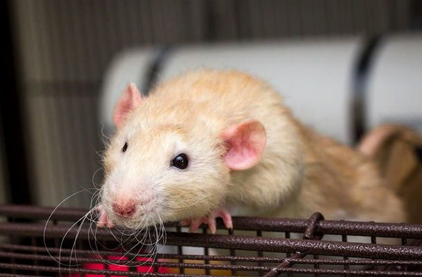 Крыса дамбо - голова
