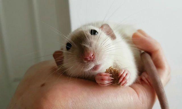 Декоративные крысы дамбо - приручение