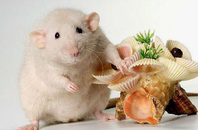 Крыса дамбо - светло-бежевая