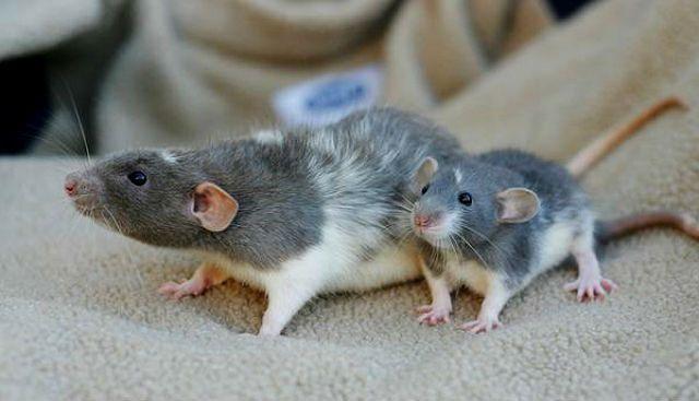 Крысы дамбо