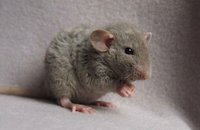 Декоративная крыса дамбо - рекс