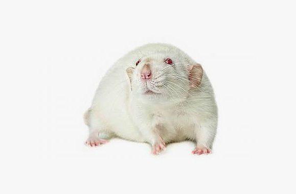 Белая крыса дамбо