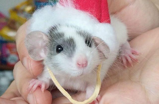 Крыса дамбо на ладошке