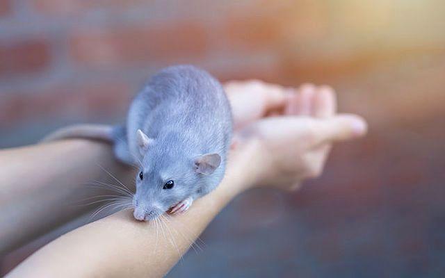 Голубая крыса - главное фото
