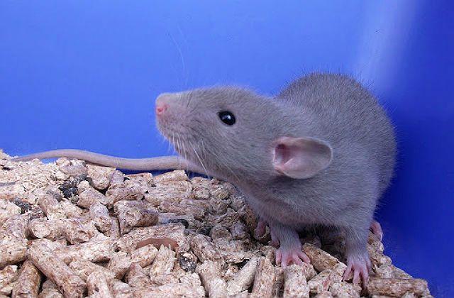 Голубая крыса - содержание