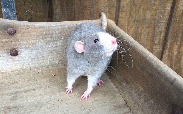 Голубая крыса - внешний вид