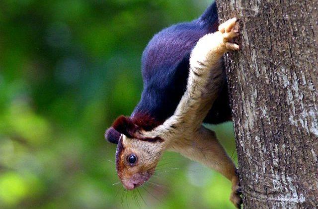 Индийская гигантская белка на дереве