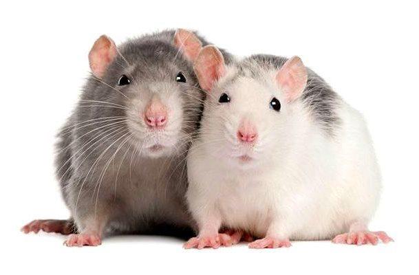 Как назвать декоративную крысу - главное фото