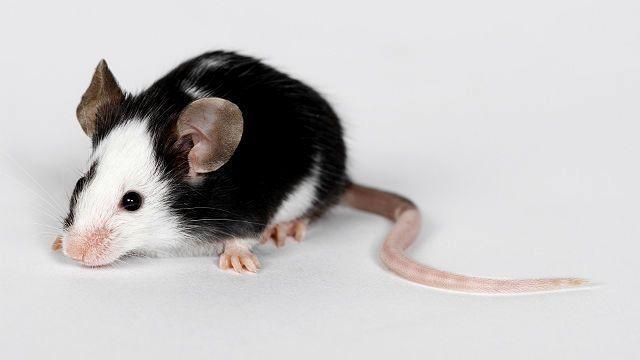 Как назвать декоративную крысу по окрасу