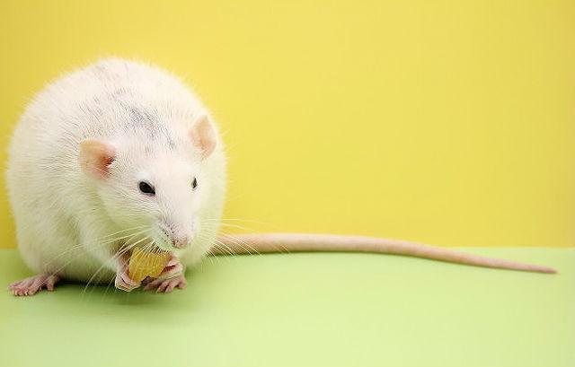 Как назвать декоративную крысу девочку
