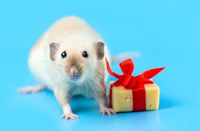 Как назвать декоративную крысу мальчика