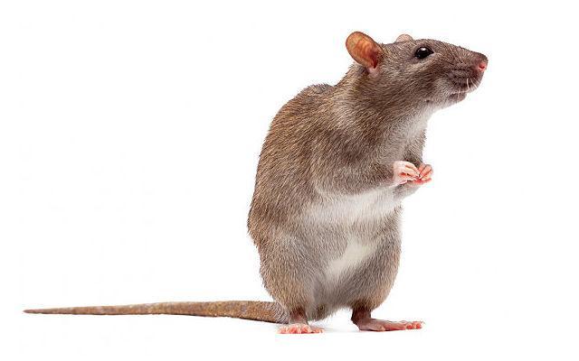 Приучение декоративной крысы к кличке