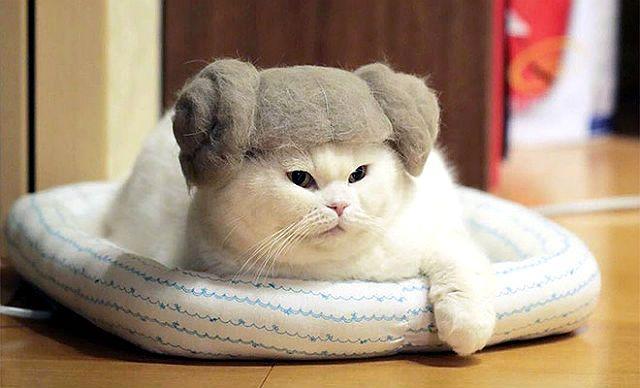 Как стричь шотландскую кошку