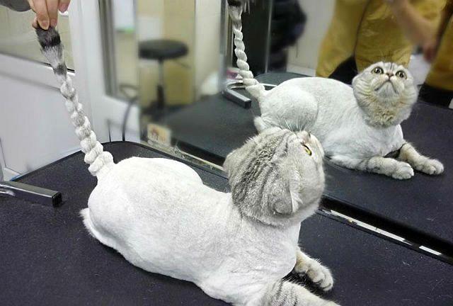 Шотландская кошка - груминг