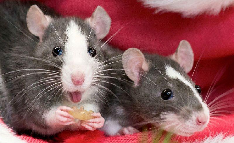 Как выглядят декоративные крысы