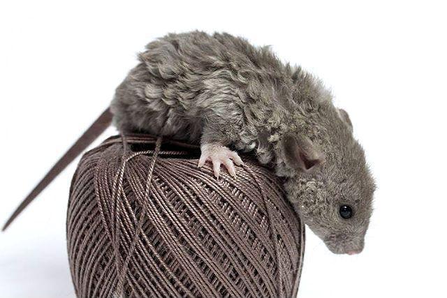 Декоративная крыса породы рекс
