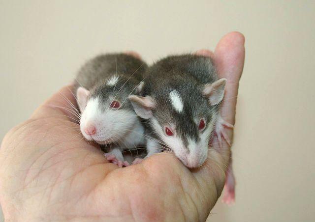 Декоративные крысы с окрасом хаски
