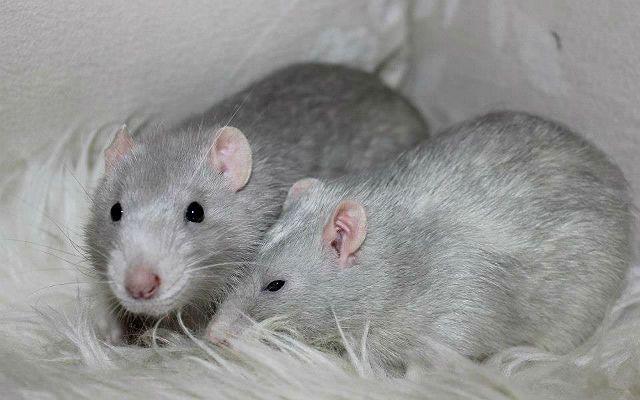 Декоративные крысы серебристого окраса