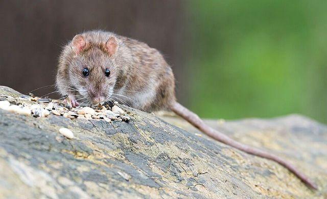 Клички для декоративных крыс