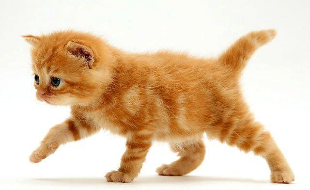 Клички для рыжего котенка мальчика