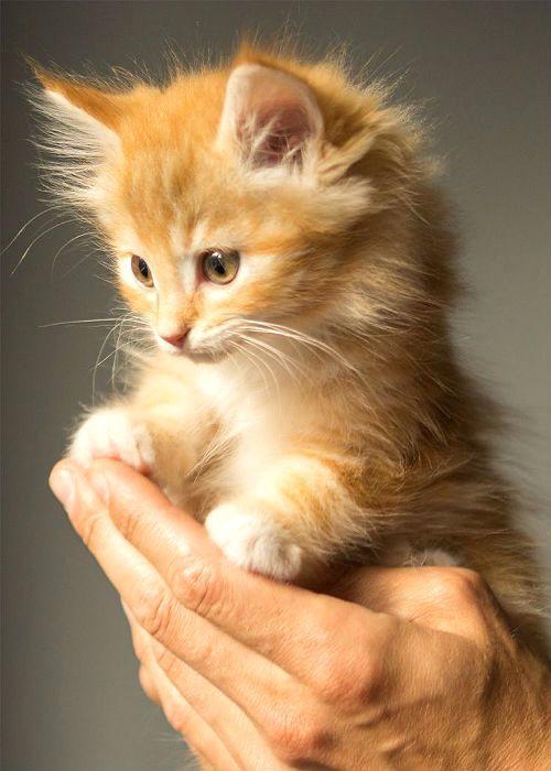 Клички для рыжих котят мальчиков
