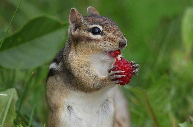 Бурундучок ест малину