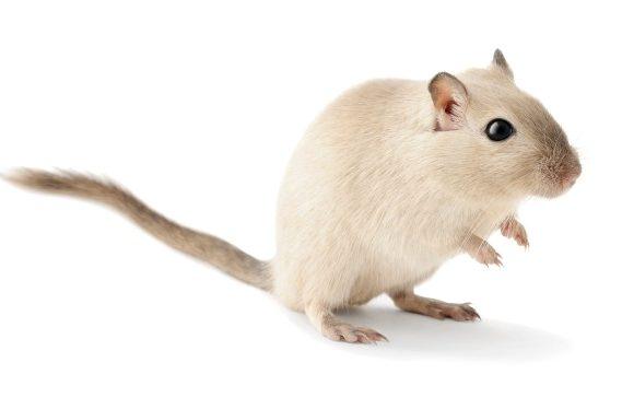 Мышь песчанка - внешний вид