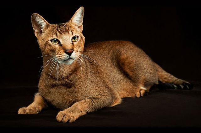 Кошка чаузи - главное фото