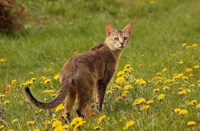 Кошка чаузи - внешний вид