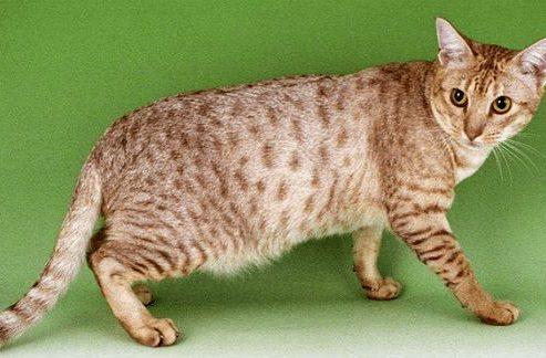 Кошка чаузи - вид сбоку