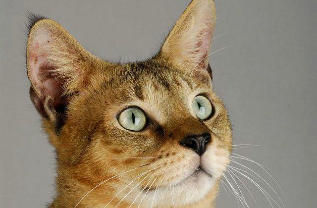 Кошка чаузи - голова