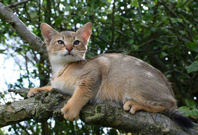 Чаузи - котенок
