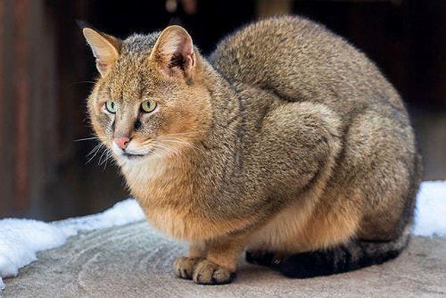 Кошка чаузи - окрасы